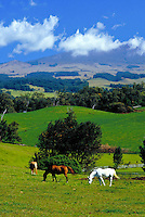 Kula, Upcountry, horses grazing, Maui