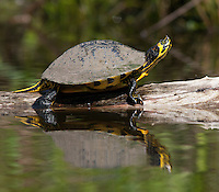 Yellow-bellied Slider; Trachemys scripta; basking; SC, ACE Basin; Horseshoe Creek