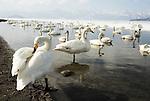 Whooper swan, Cygnus cygnus, lake Kussharo-ko, Hokkaido Island, Japan, japanese, Asian, wilderness, wild, untamed, ornithology, snow, graceful, majestic, aquatic.Japan....