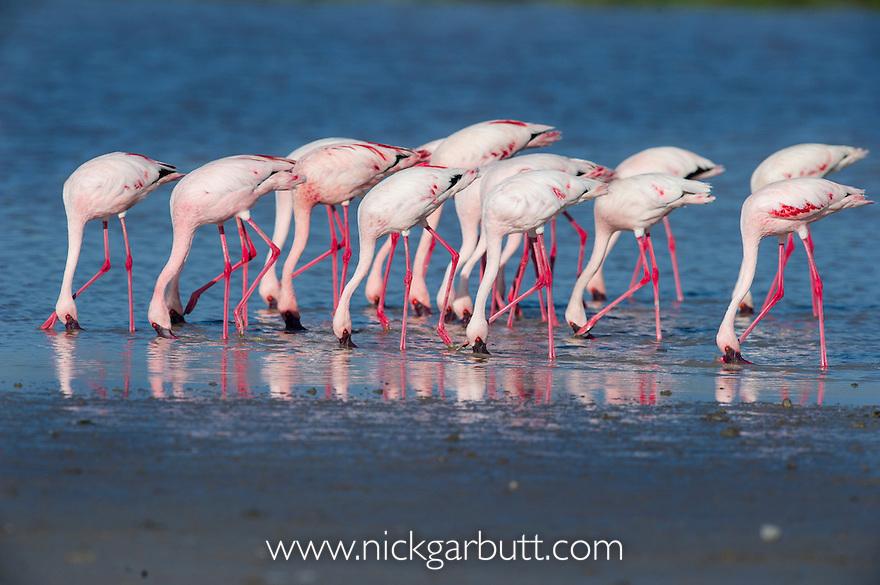 Greater Flamingos (Phoenicopterus roseus) feeding in shallow lake.  Ndutu area, Ngorongoro Conservation Area NCA / Serengeti National Park.