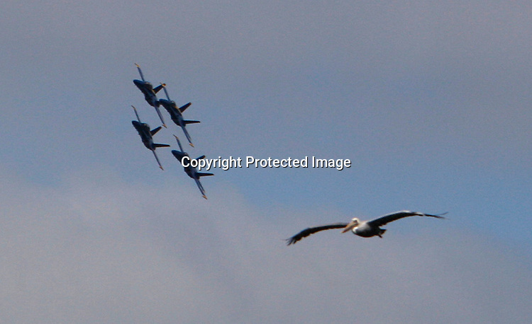A pelican seems to be trying to get into formation with the U.S. Navy's precision flight demonstration team, the Blue Angels, as the practice over the San Francisco Bay as seen from Marina Greens.