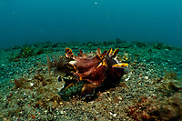 A flamboyant cuttlefish (Metasepia pfefferi) catches a shrimp goby after waiting for over 3 minutes, motionless and camouflaged. Lembeh Strait, Indonesia, echeng100307_0253952