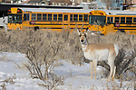 Pronghorn Antelope (Antilocapra americana) female in city in winter, Gardiner, Yellowstone National Park, Montana