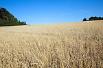 Barley field and blue sky in summer, Shottisham, Suffolk, England