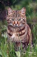 Getigerte Katze - Cat