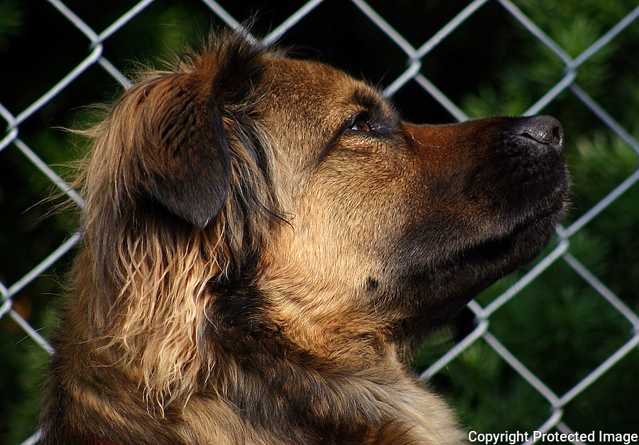 Mixed Breed Dog Inside Chain Link Fence