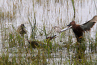 The Cinnamon Teal (Anas cyanoptera) is a small, reddish dabbling duck found in marshes and ponds of western North America. In Yellowstone in May, it is breeding season and the males compete for the female's attention and approval by fighting with one another.