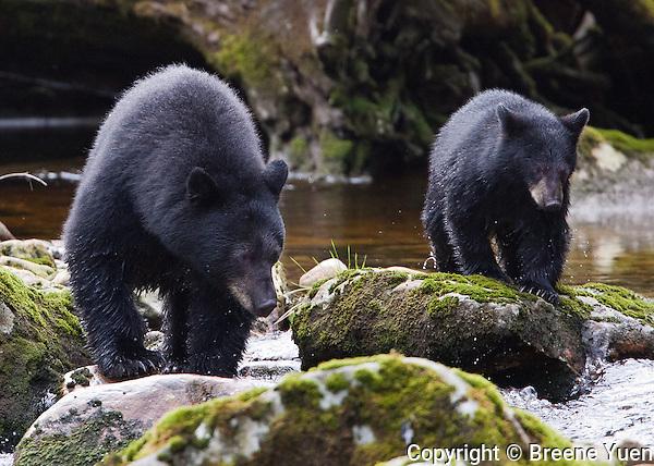 Black Bear, Gribbell Island