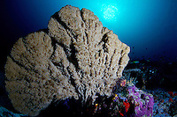coral on the deep ridge in Misool, Raja Ampat, Indonesia, Pacific Ocean may 2011