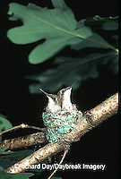01162-02110 Ruby-throated Hummingbird (Archilochus colubris) nestlings Marion Co. IL
