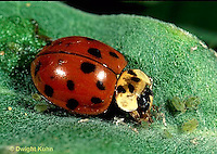 1C01-039a Asian Ladybug eating prey, Harmonia axyridis
