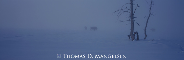 Bison walk trudge through a snowstorm.