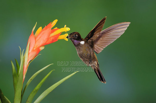 Brown Inca (Coeligena wilsoni), adult feeding from Bromeliad flower,Mindo, Ecuador, Andes, South America