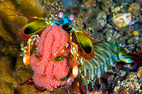A Peacock Mantis Shrimp, Odontodactylus scyllarus, carrying its sack of red eggs, raises up in a defense mode, Beangabang Bay, Pulau Pantar, Indonesia, Indo-Pacific Ocean