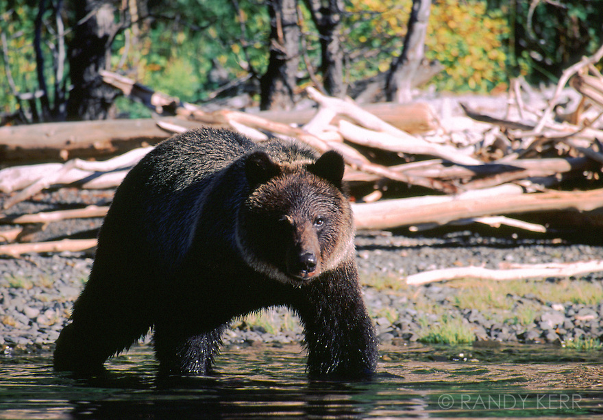 Grizzly entering lake