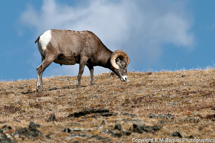 Bighorn Sheep Ram in Rocky Mountain National Park