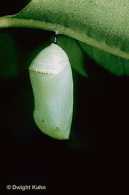 MO03-010d  Monarch Butterfly - newly formed chrysalis - Danaus plexippus