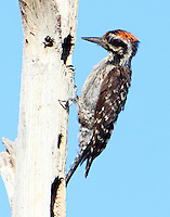 Juvenile male ladder-backed woodpecker