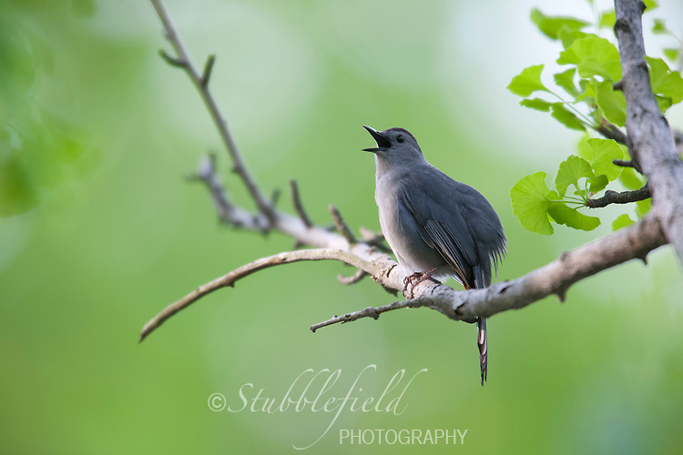 Gray Catbird (Dumetella carolinensis carolinensis), singing in Spring in New York's Central Park.