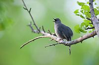 Gray Catbird (Dumetella carolinensis carolinensis), singing in Spring in New York's Central Park.