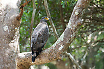 Crested Serpent Eagle, Spilornis cheela, perched in tree, Wilpattu National Park, Sri Lanka