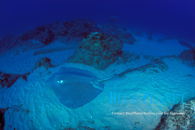 leopard ray, coachwhip ray, or honeycomb stingray, Himantura uarnak, Manta Bommie, N. Stradbroke Island, near Brisbane, Queensland, Australia