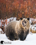 Grizzly bear cub in willows during autumn. Bridger-Teton National Forest, Wyoming.