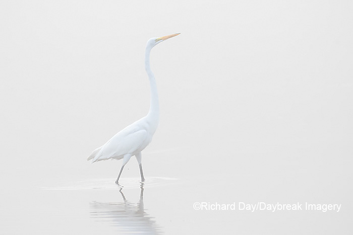 00688-02216 Great Egret (Ardea alba) in wetland in fog, Marion Co., IL