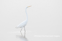 00688-02216 Great Egret (Ardea alba) in wetland in fog, Marion Co., IL