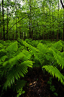 Ferns bend under a shower of rain on the floor of a hardwood forest in Southern Ontario.