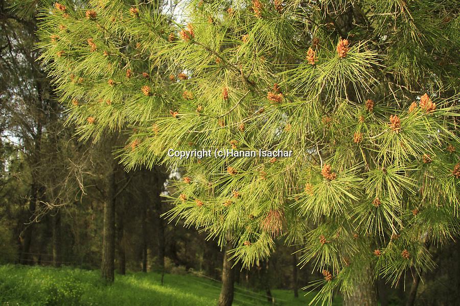 Israel, Upper Galilee, Pine trees in Biria forest
