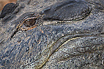 Upclose abstract of an American Alligator.