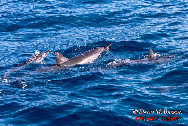 Spinner Dolphins & Baby & Baby