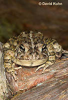 0602-0910  Fowler's Toad, Anaxyrus fowleri [syn: Bufo fowleri (Bufo woodhousii fowleri)]  © David Kuhn/Dwight Kuhn Photography