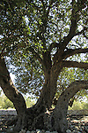 Israel, Shephelah, Carob tree in Haruvit forest
