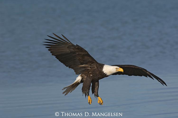 A bald eagle flying over the water at Homer, Alaska.