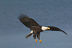 A bald eagle flying over the water at Homer, Alaska.