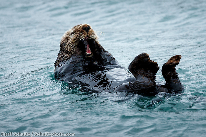 Sea Otter eats and floats on his back in Kukak Bay of Katmai Coast in Katmai National Park, Alaska.  Katmai Wilderness Lodge Summer.  June 2018<br /> <br /> Photo by Jeff Schultz/SchultzPhoto.com  (C) 2018  ALL RIGHTS RESERVED