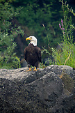 USA, Oregon, Wild and Scenic Rogue River in the Medford District, Bald Eagle fishing near Wiskey Creek