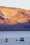 Pelicans and evening alpenglow, Bahia de los Angeles, Baja California, Mexico