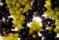 Still life composizione di uva bianca e nera.<br /> Still life composition of white and black grapes.