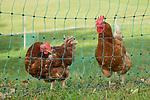 Chicken, Huhn, Gamprin, Rheintal, Rhine-valley, Liechtenstein.
