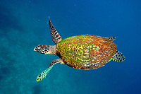Hawksbill turtle, Eretmochelys imbricata, returning from the surface after going up for air, Twin rocks, Pulau Perhentian, South China sea, Penninsular Malaysia, Asia