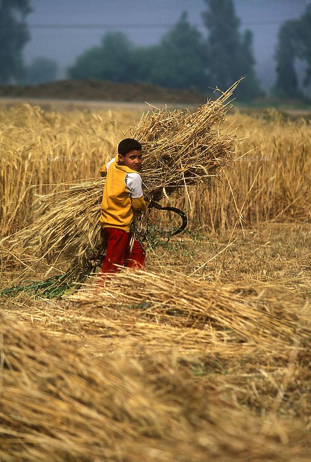 ..Egypt. Nile Delta. 1996. A young Egyptian farmer harvests a wheat field with a sickle. ..Egypte. Delta du Nil. 1996. Un jeune paysan egyptien moissonne un champ de ble avec une faucille.