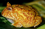 Giant Horned Frog, Albino, Genus: Ceratophrys, big fat yellow patterned skin....