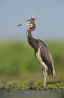 Tricolored Heron, Egretta tricolor,adult, Lake Corpus Christi, Texas, USA, May 2003