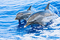 pantropical spotted dolphin, Stenella attenuata, mother and calf, riding boat wakes, Kona Coast, Big Island, Hawaii, USA, Pacific Ocean