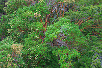 WASJ_D112 - USA, Washington, San Juan Island National Historical Park, English Camp, Pacific madrone trees in bloom.