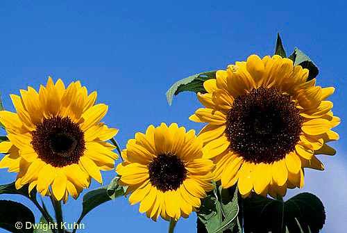 HS13-065z  Sunflower - turning towards sun - Helianthus spp.