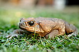 BELIZE, Punta Gorda, Toledo District, a frog sits in the grass at the Maya village of San Jose